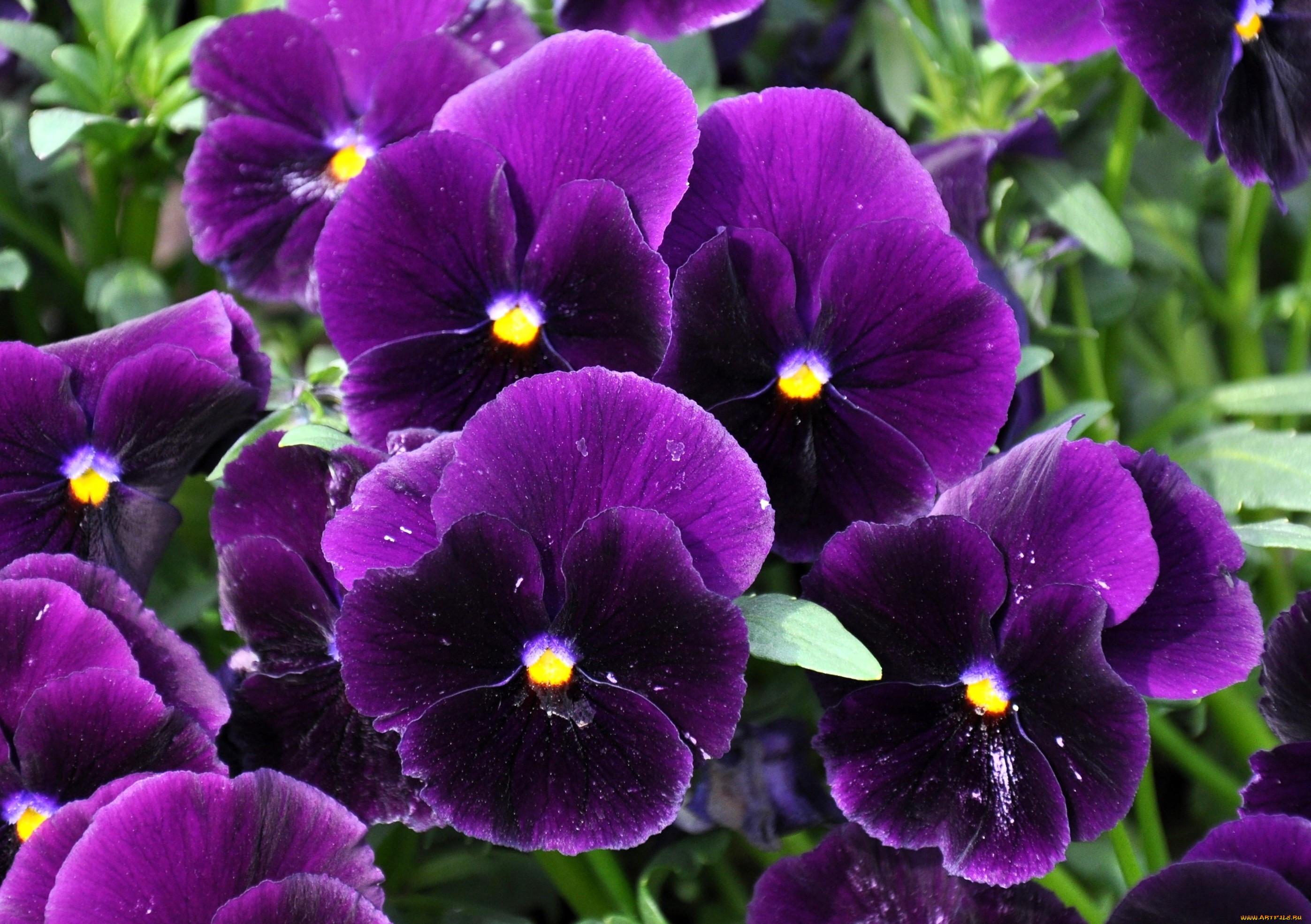 фиолетовые анютины глазки фото скрыть розетки
